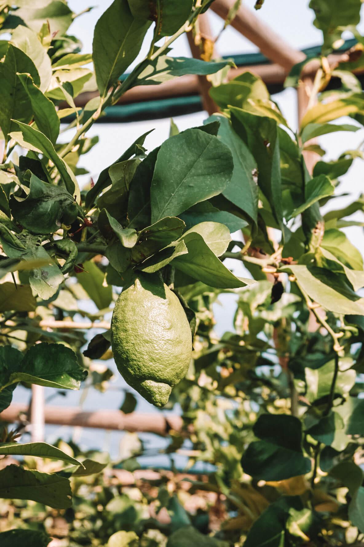 Lemon garden Ischia Italy